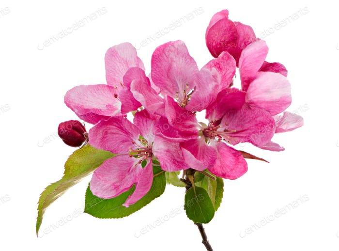 Isolated pink blossoms of an apple tree