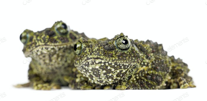 Two Mossy Frogs, Theloderma corticale, also known as a Vietnamese Mossy Frog