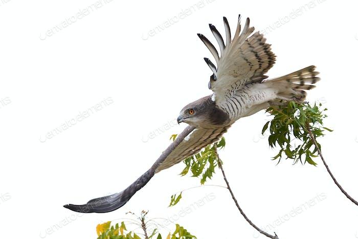 Beaudouins snake eagle (Circaetus beaudouini)