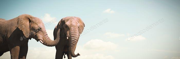 Composite image of wild elephants grazing on grassland