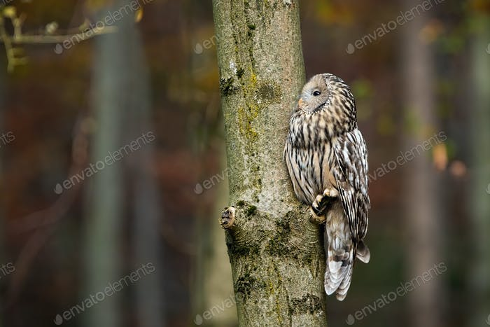 Ural owl resting on a tree and looking away in forest