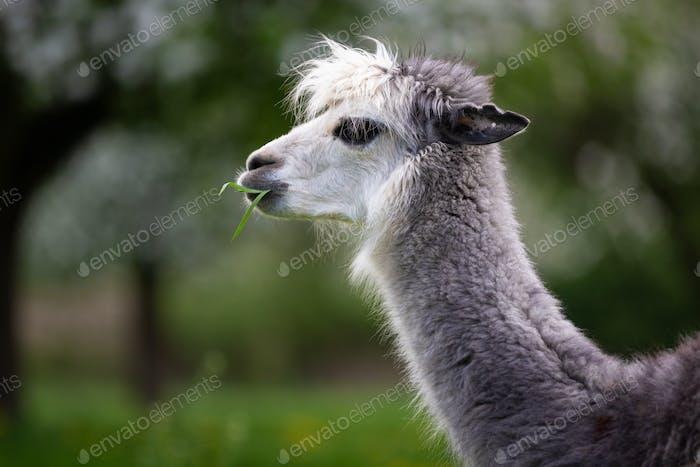 Alpaka essen Gras