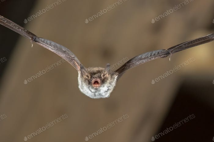 Flying Natterers bat
