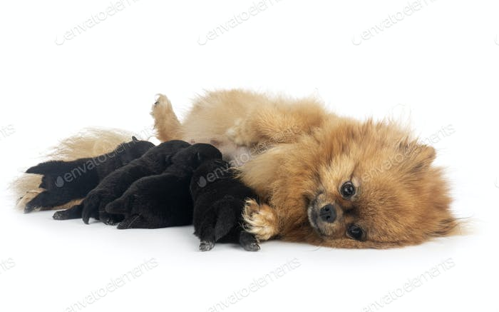 puppy pomeraniane in studio