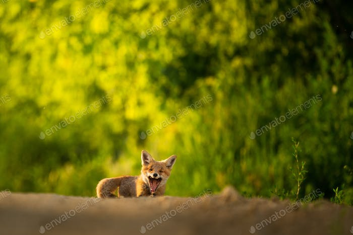 Red fox cub , Vulpes Vulpes