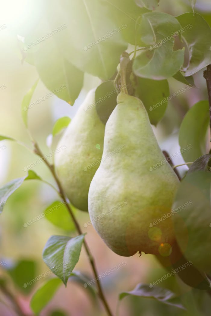 Close up of Ripe Red green Pears on the tree in a grove in , all ready to be picked in late summer