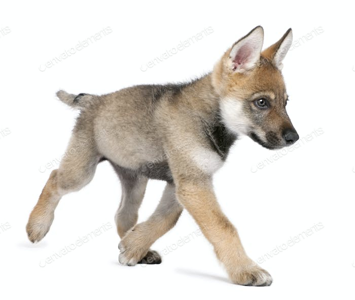 Young European wolf running - Canis lupus lupus