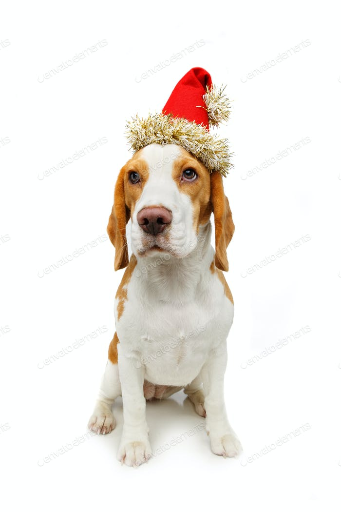 beautiful beagle female dog in christmas hat