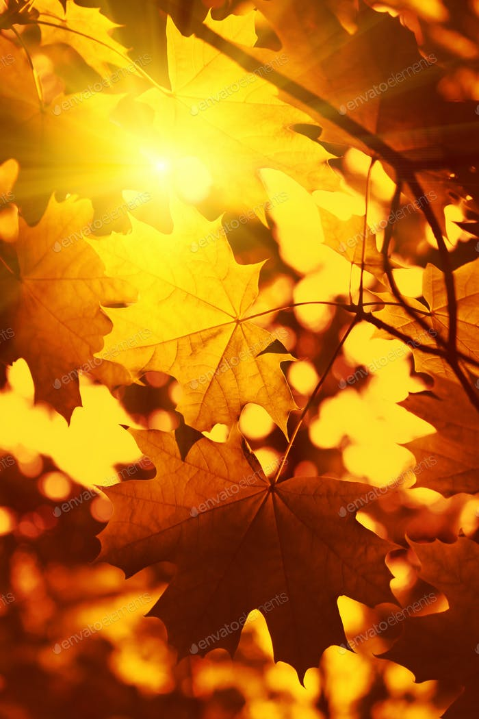 Branch of autumn maple foliage with sunlight