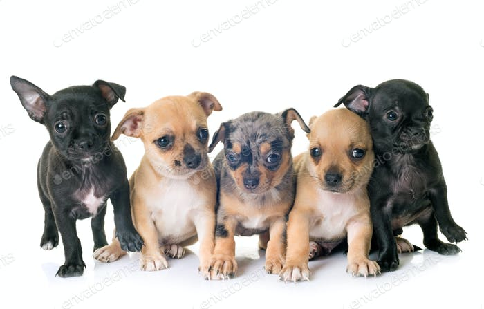 puppies chihuahuas in studio