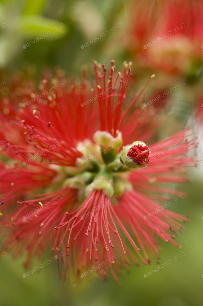 Red flowers pistils