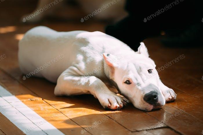 Young White Dogo Argentino Hund legen auf Holzboden
