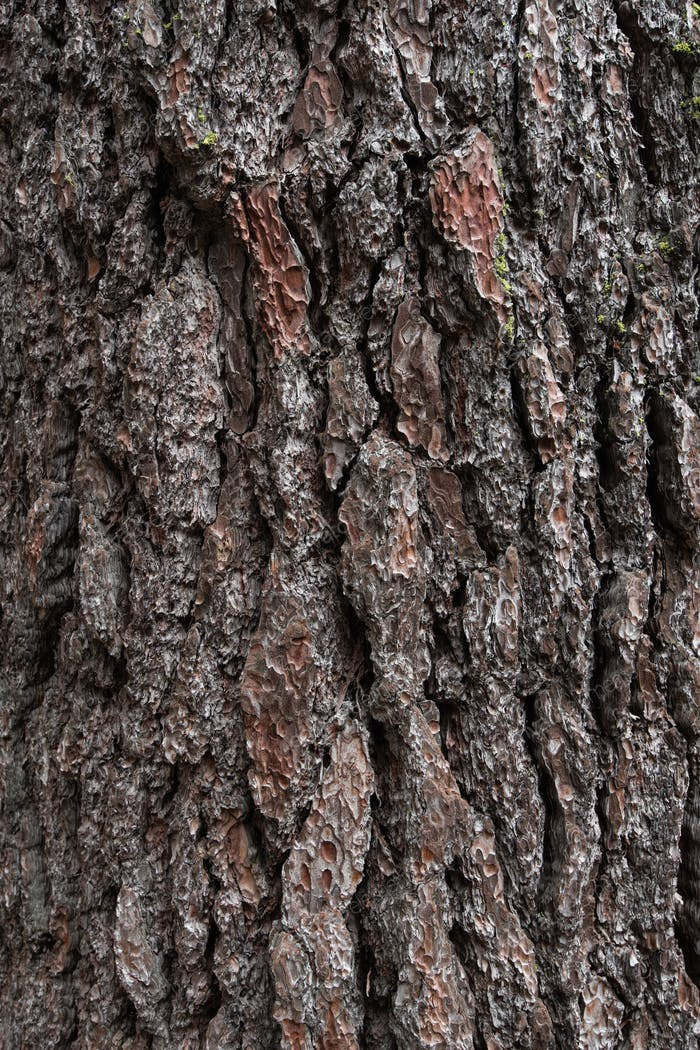 Background texture of tree bark. Old wood dry bark of the tree