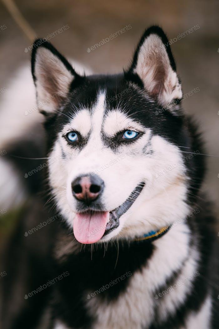 Close Up Portrait of Husky Dog