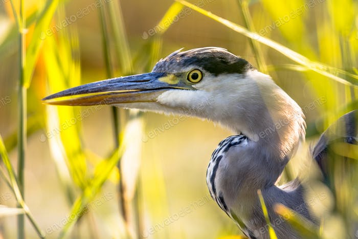 Grey heron close up of head in reed