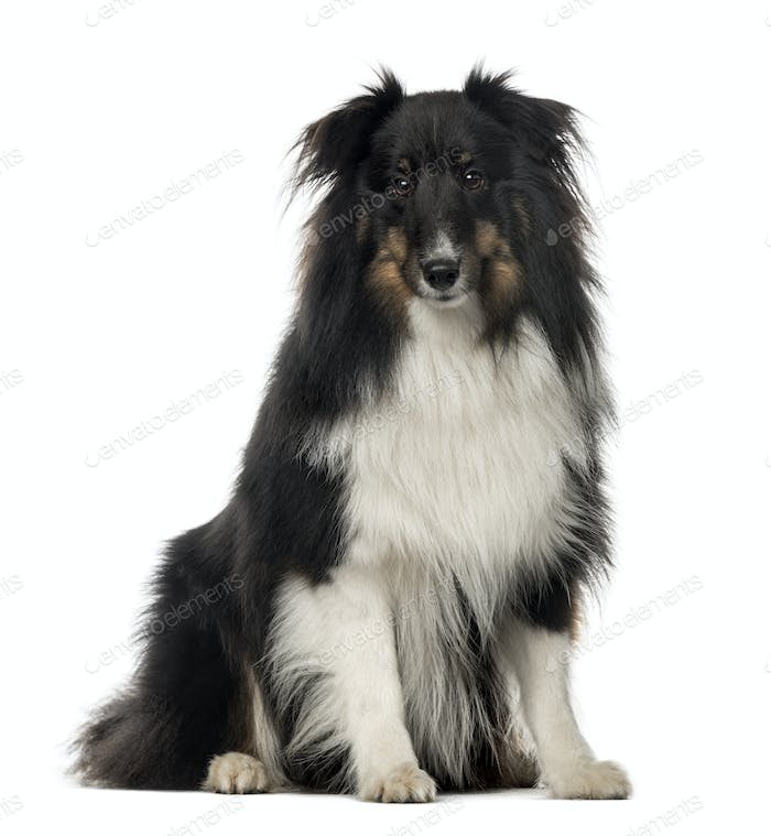 Berger Shetland sitting, 18 months old , isolated on white