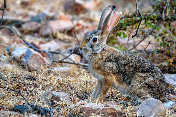 Indian hare or black-naped hare, Lepus nigricollis