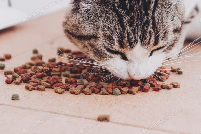 Little tabby cat eating his food