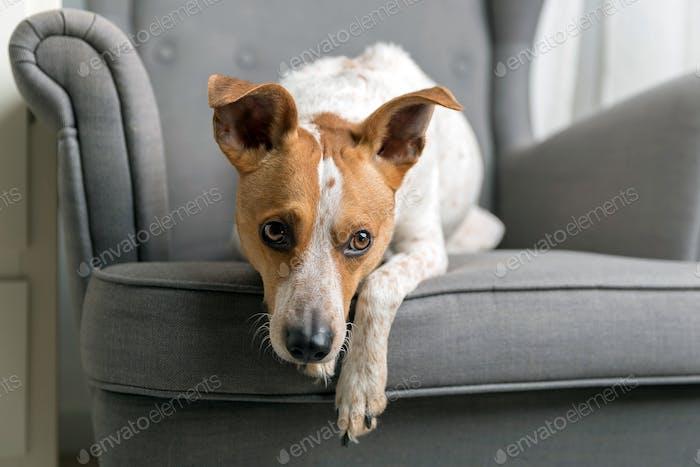 Cute dog on the armchair