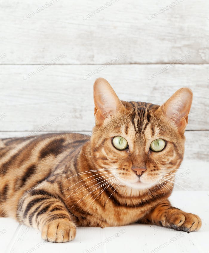 Bengal cat sitting on white wooden floor