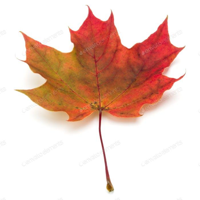 bunte Herbst-Ahornblatt isoliert auf weiß