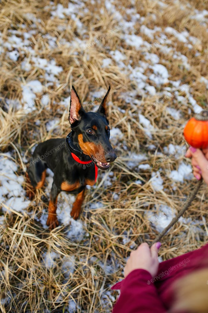 Man spend time with beautiful dog doberman outdoors