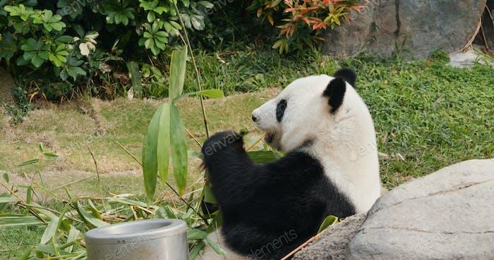 Panda essen Bambus im Park