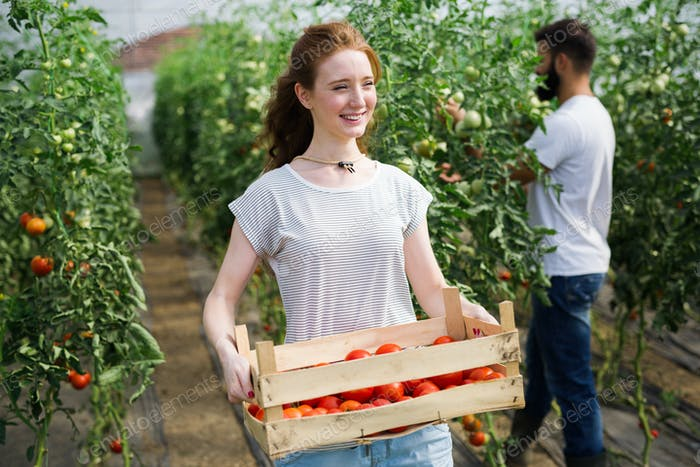 Young smiling agriculture woman worker working, harvesting tomatoes in greenhouse