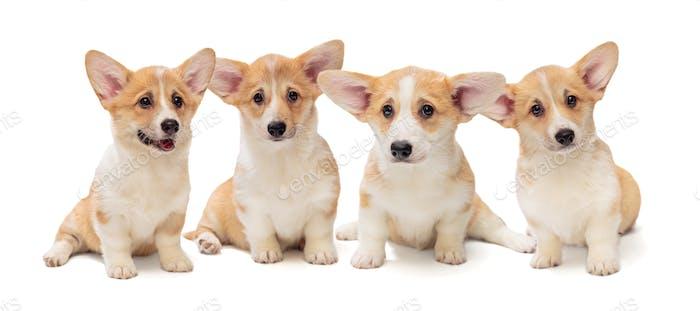 Four Pembroke Corgi puppies