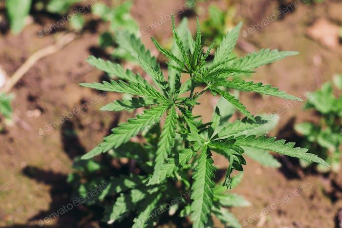 Growing Cannabis Sativa outdoors