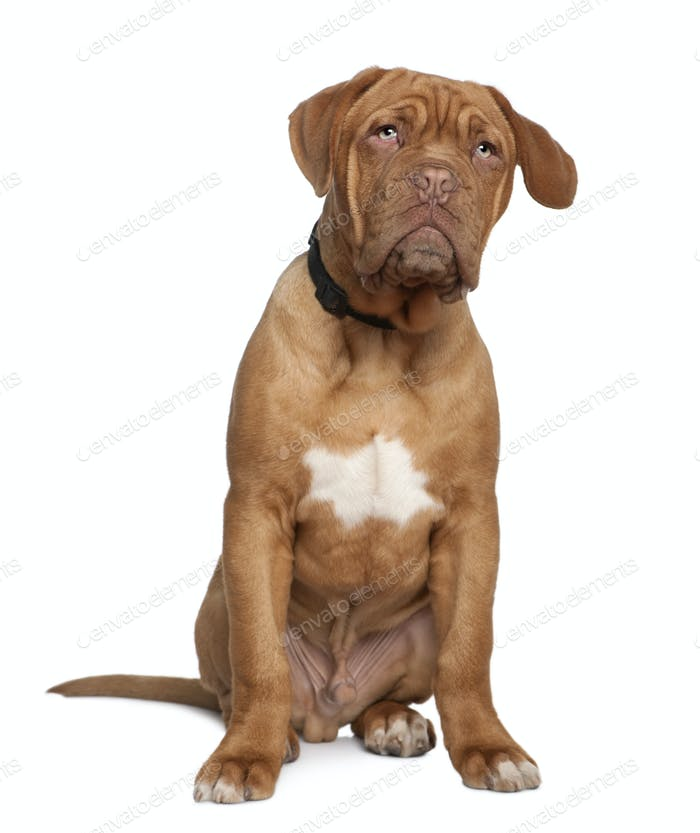 Dogue de Bordeaux, 5 months old, sitting in front of white background