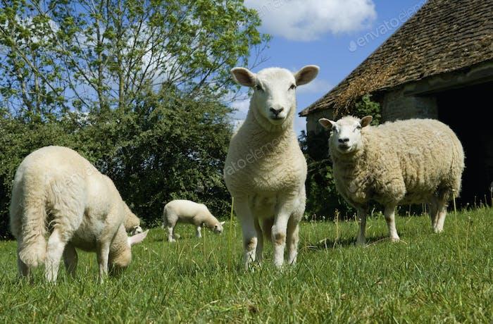 Sheep grazing in paddock.