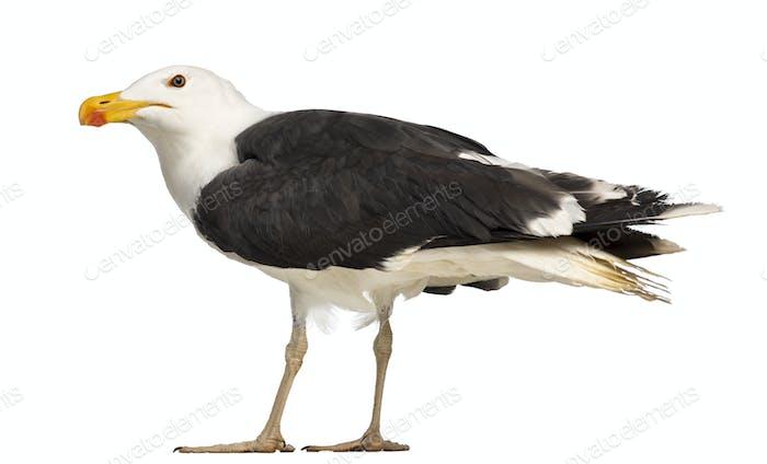 Male Great Black-backed Gull, Larus marinus, against white background