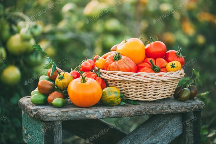Organic tomatoes in the basket