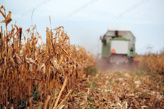 Corn maize harvest, combine harvester in field