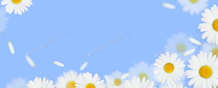 Daisy camomile flowers on blue