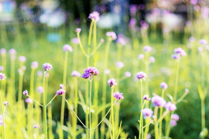 Verbena with beautiful in garden