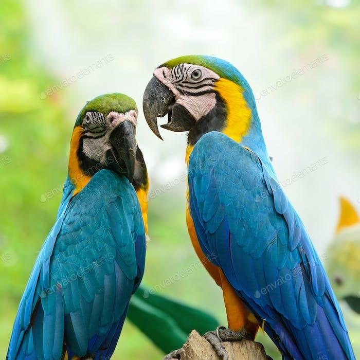 Blauer und goldener Ara