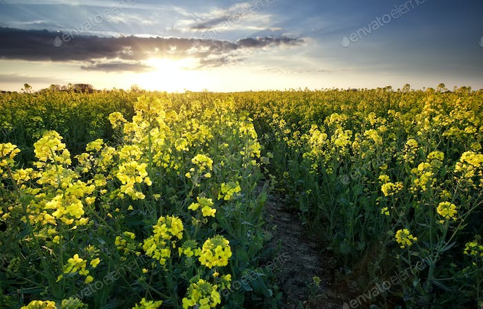 sunshine over rapeseed oil field
