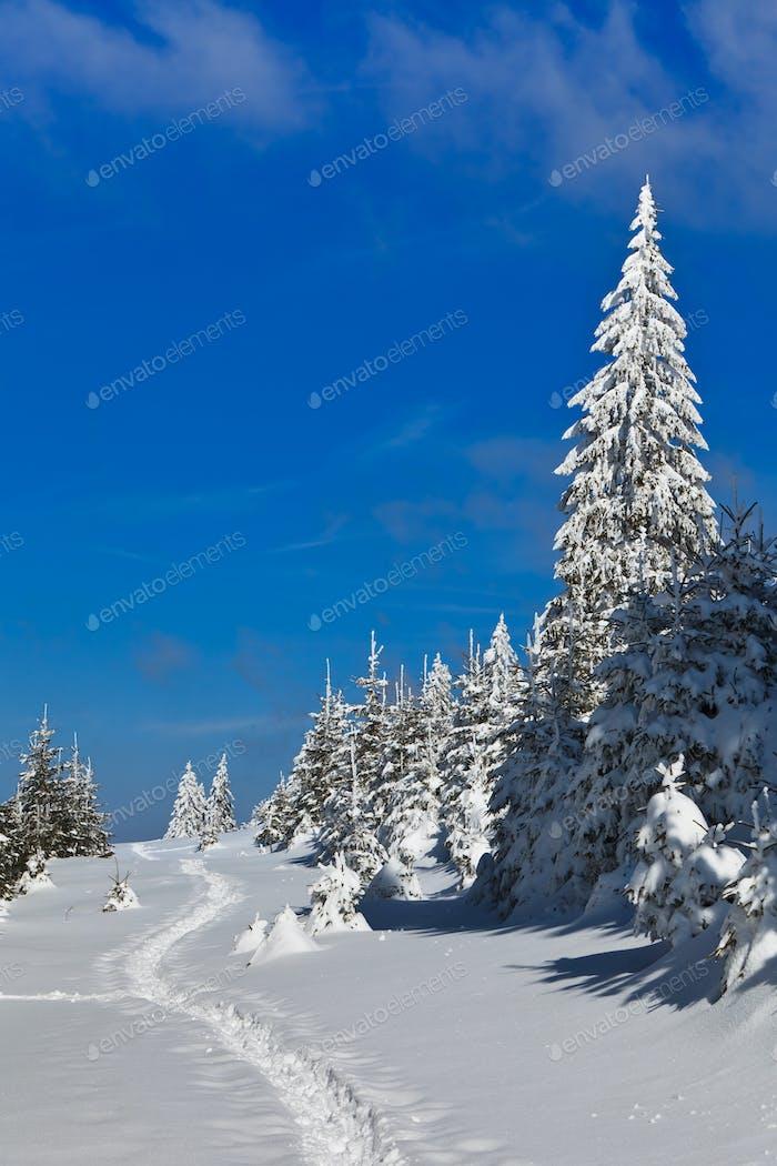 Wald mit Kiefern im Winter