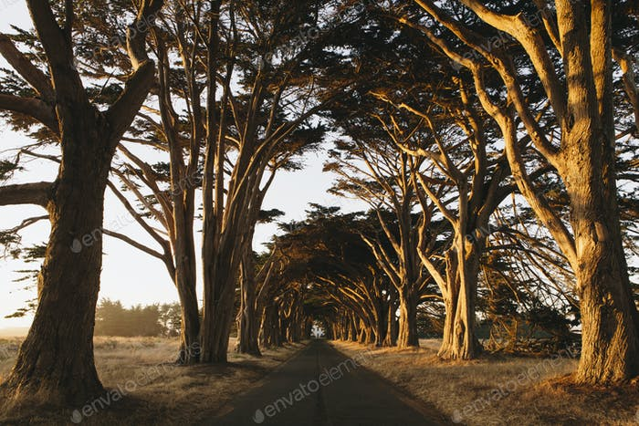 A tunnel of cypress trees which have grown together over the road, dusk