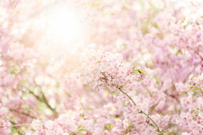 Pale pink blossom on branch