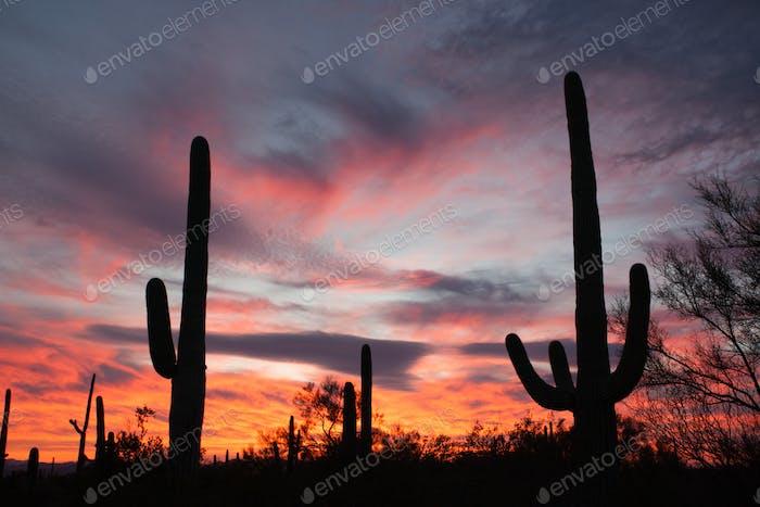 Saguaro Cacti Sonoran Desert Sunset Saguaro NP AZ
