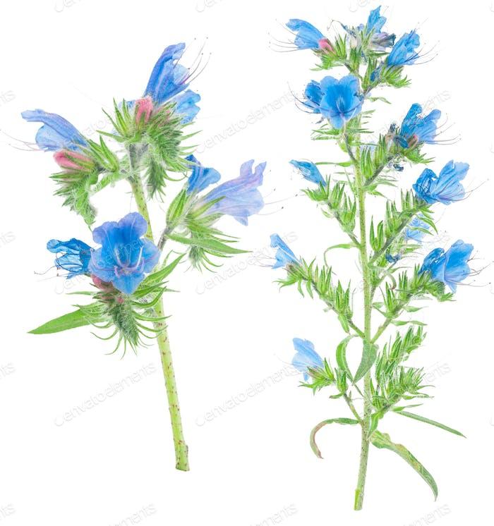 Heilpflanze: Echium vulgare
