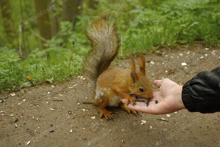 Beautiful squirrel eats sunflower seeds from a hand of man