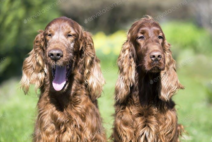 Happy Irish Setter dogs