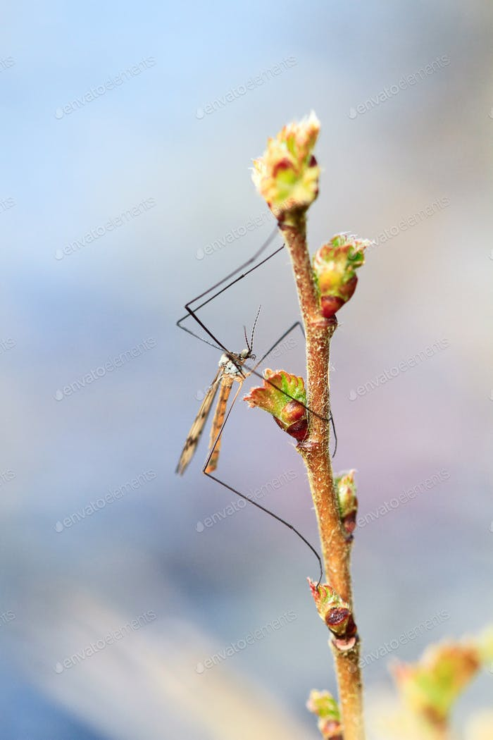 Crane Fly on a Plant in England
