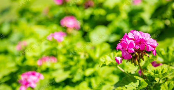 Pink color geranium flower and leaves against blur green nature  background. Closeup view