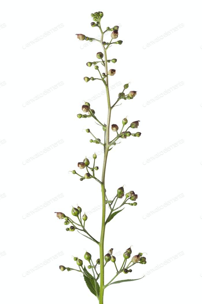 Figwort Floración