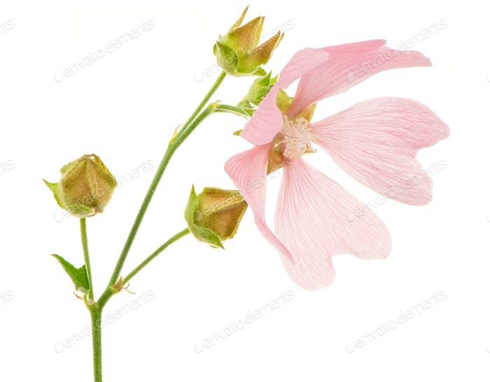 Isolated Pink Malva